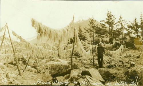 "Herring ""spawn drying in the sun near Sitka Alaska"", ca. 1900. Source: Sealaska Heritage Institute, Richard Wood Collection. http://goo.gl/y8NF2h"