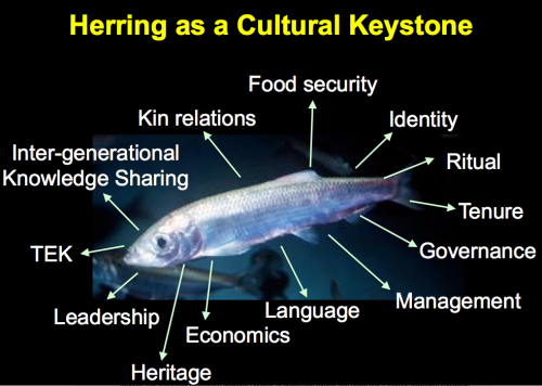 "Slide from Danal Lepofsky slideshow ""Herring as a cultural keystone; archaeology, anthropology & genetics, policy  & governance"", available with other herring resources here: http://www.sfu.ca/hakai/current-research-programs/herring-school/-advancing-ecosystem-based-management-of-low-trophic-level-fishe.html"