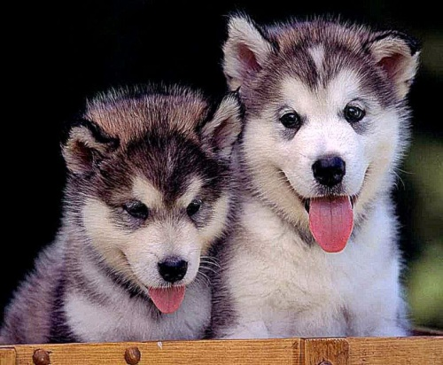 Gratuitous shot of ultra-cute malamute puppies. Source: cwallpapersgallery.blogspot.ca