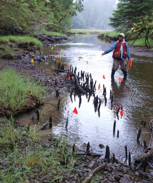 Haida cultural specialist Jaalen Edenshaw with an extensive fish weir in Gwaii Haanas National Park Reserve / Haida Heritage Site. These wooden stakes are up to 2,000 years old. Photo by Daryl Fedje I think, or me, maybe.
