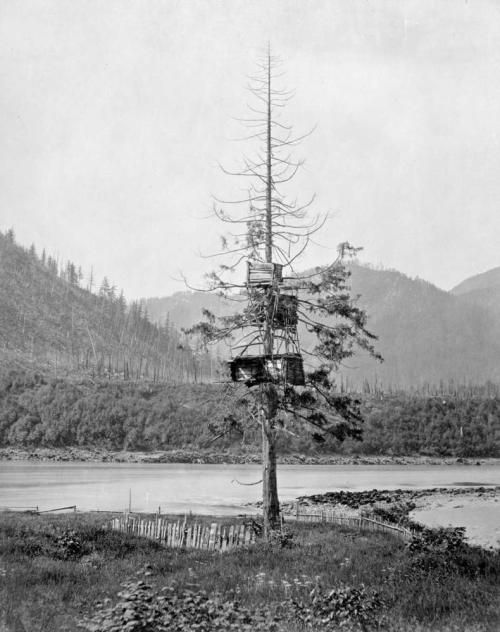 Salmon cache in tree, Yale BC, date unknown but probably 1865ish, Maynard collection but probably by Dally. Source: BC Archives https://goo.gl/kaixsc