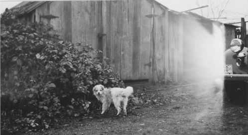 "Mongrel pup of """"wooly -haired""""dog looking towards camera. Saanichton - East Saanich Reserve #2, 1946. Source: Ian McTaggart Cowan Fonds."
