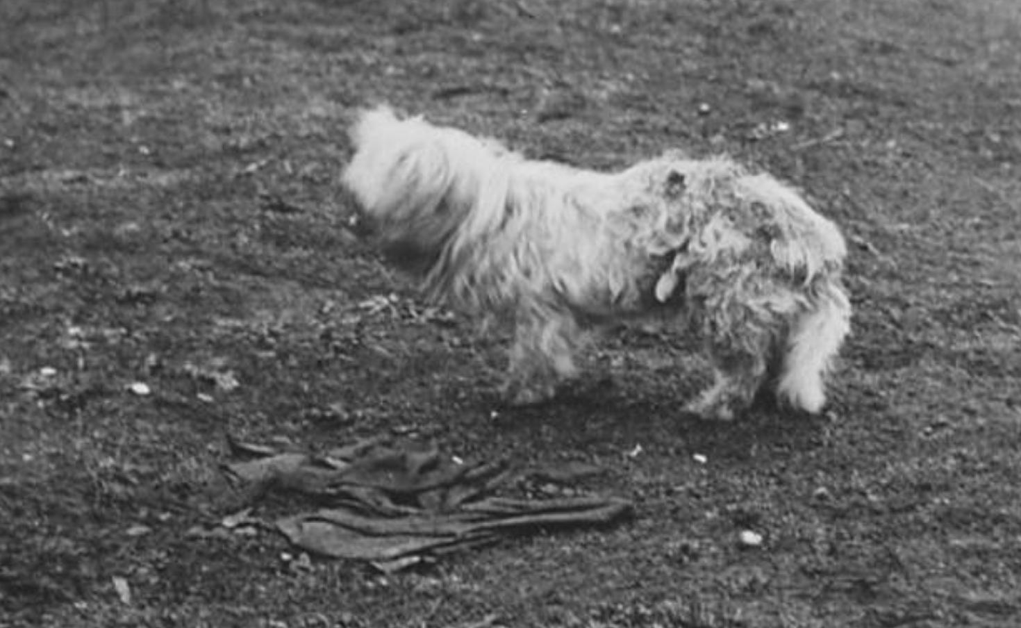 Coast Salish Woolly Dogs Ca 1946 Northwest Coast